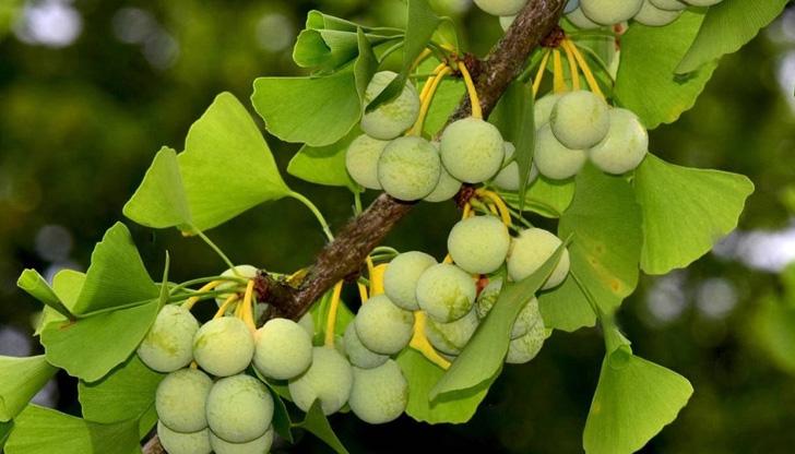 Разкриха еволюционната история на дървото гинко билоба